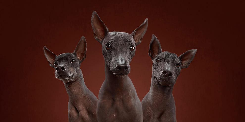 Родиной собак Ксолоитцкуинтли является Мексика