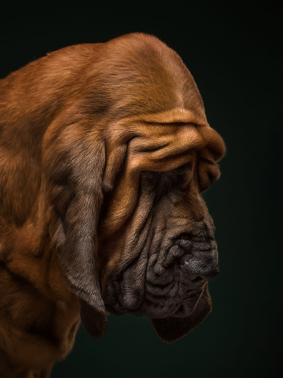 Бладхаунд - порода собак, виведена в Бельгії