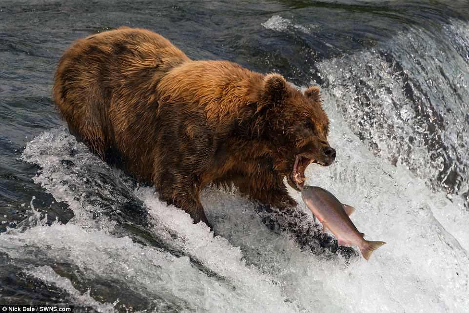 Медведь-рыболов у вершины водопада Брукс, штат Аляска