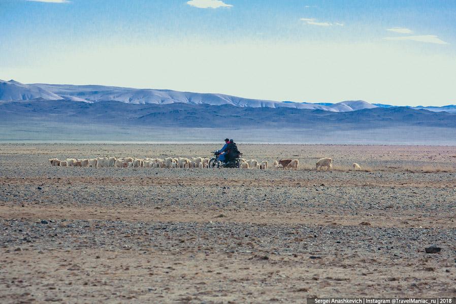Стадо овец на выпасе