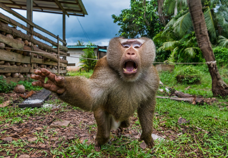 Сторожевые обезьяны в Таиланде, вместо собак