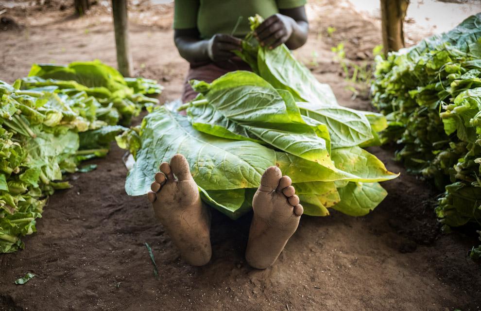 Табачные плантации Малави