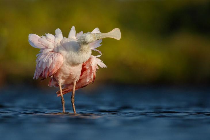 Розовая колпица из семейства ибисовых