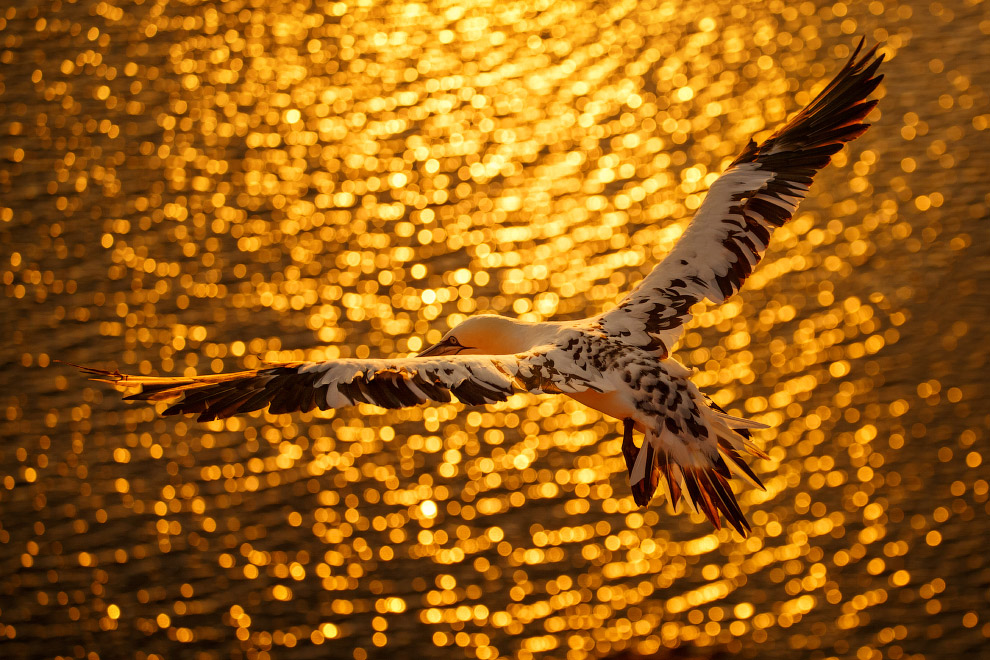 Крупная морская птица Северная олуша