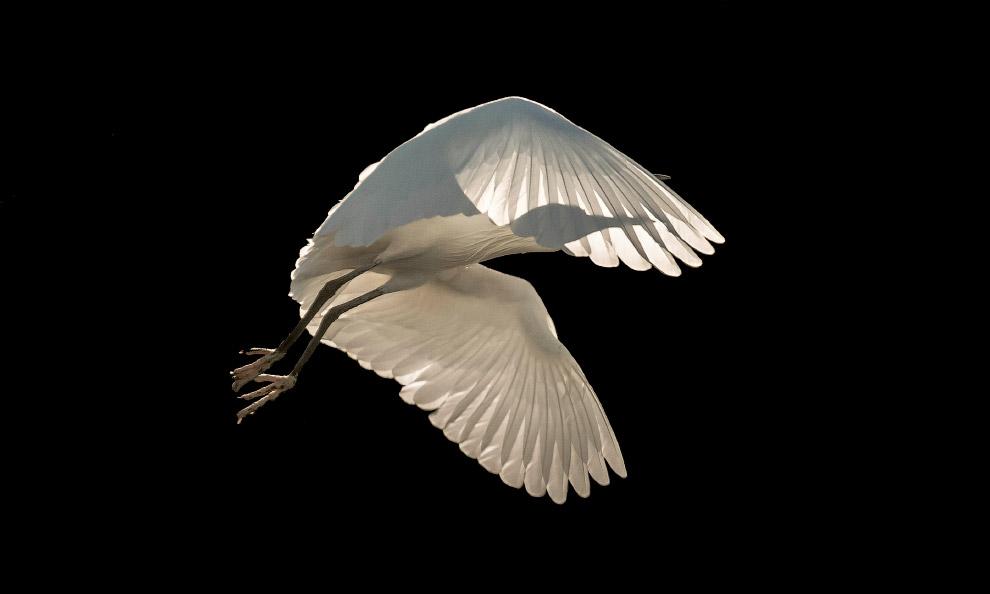Малая белая цапля