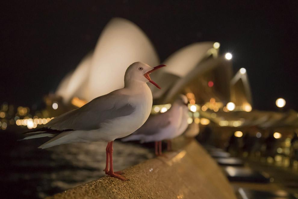 Австралийская чайка