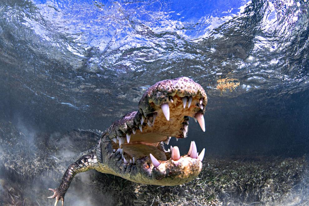 Заплыв с крокодилом