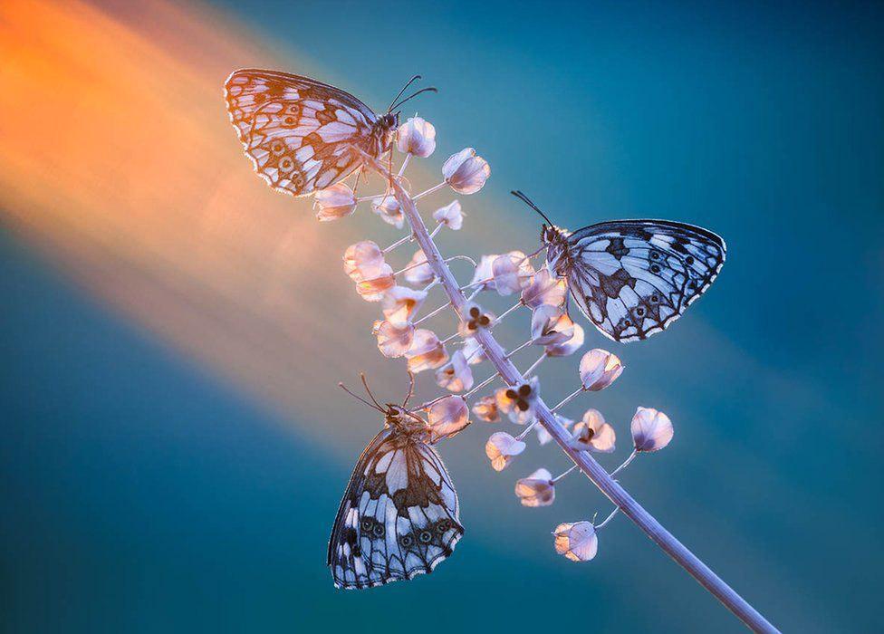 три метелики