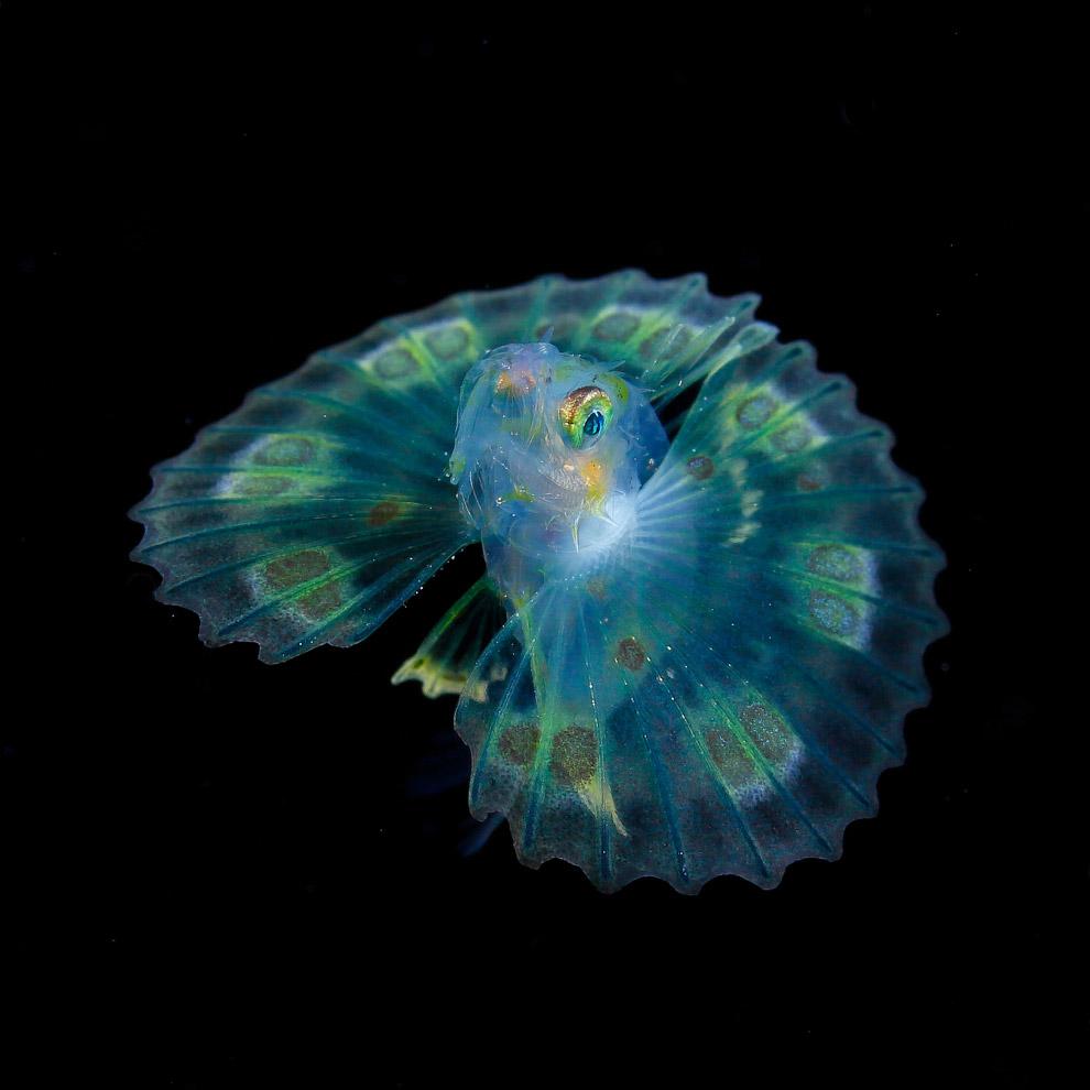 Рыба семейства скорпеновых