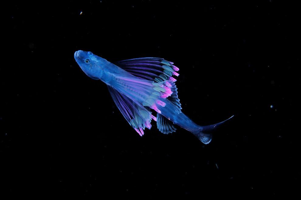 Красивая tripod fish larva