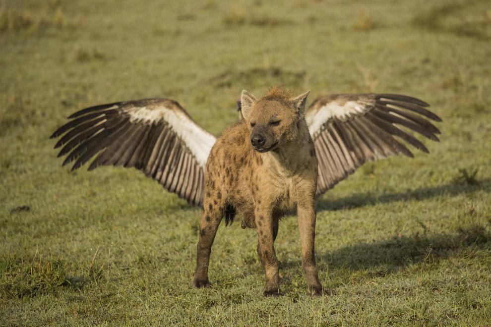крила gієna