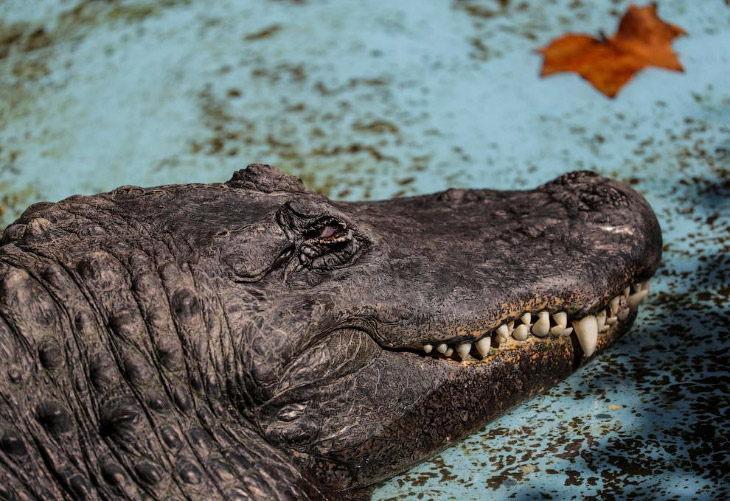 Самый старый аллигатор в мире