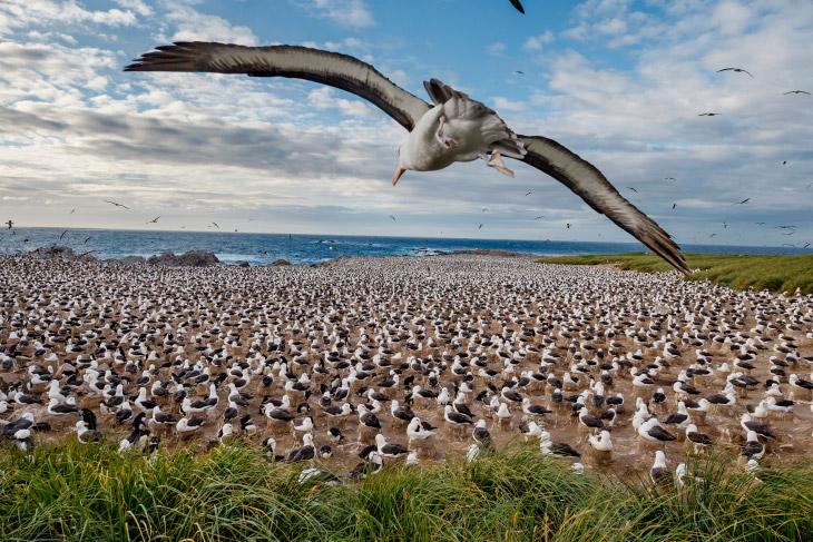 Колония альбатросов, Фолклендские острова