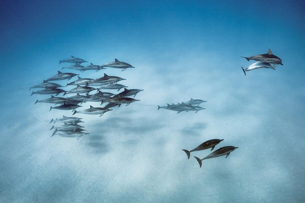 Дельфины на Гавайях