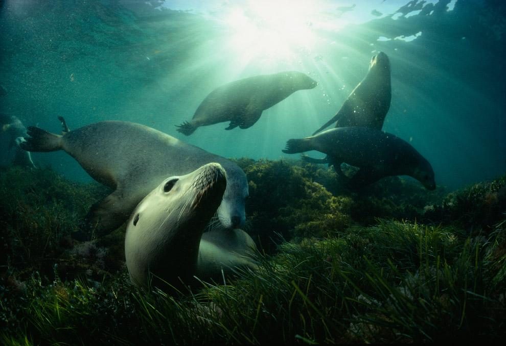 Игры морских львов, остров Хопкинс, Австралия