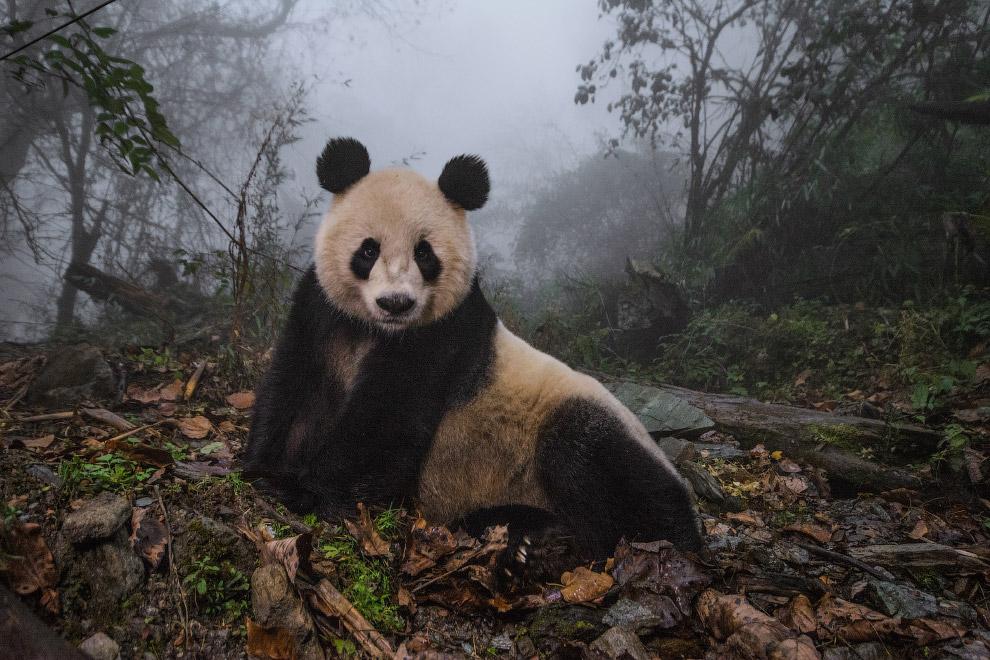 Панда, как модель, провинция Сычуань, Китай