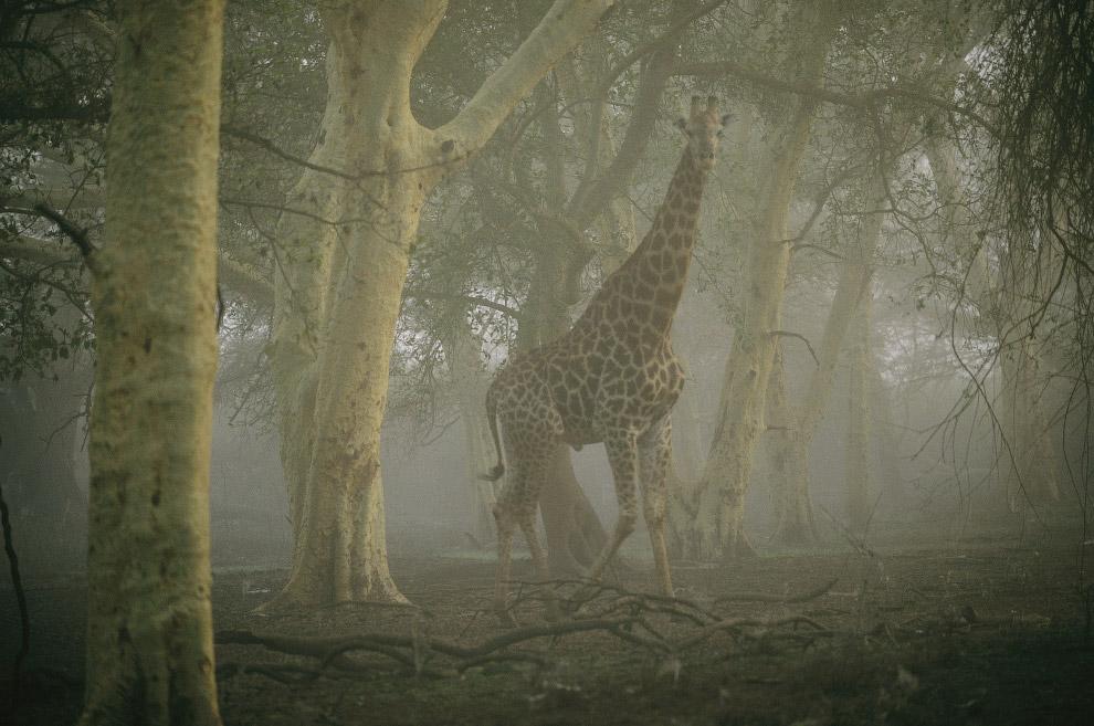 Жираф, идущий в туманном лесу.