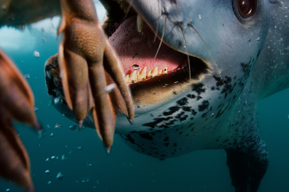 Морской леопард на охоте