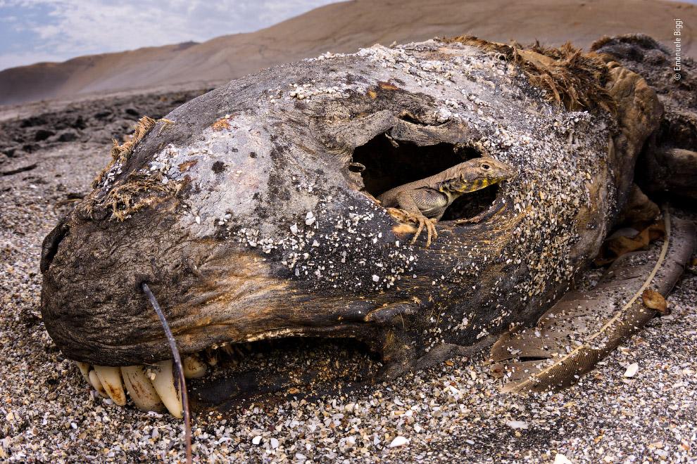 Тихоокеанская игуана внутри южноамериканского морского льва