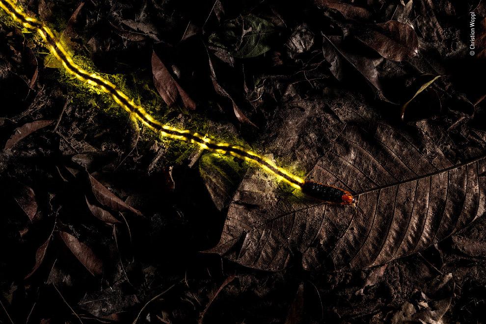 личинка светлячка