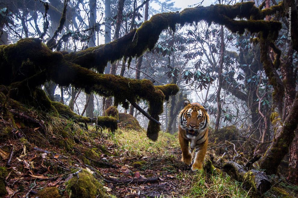 Бенгальский тигр высоко в Гималаях, в центре Бутана