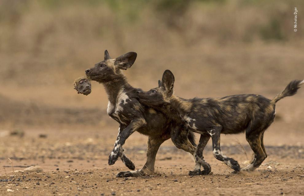 Пара цуценят дикого собаки