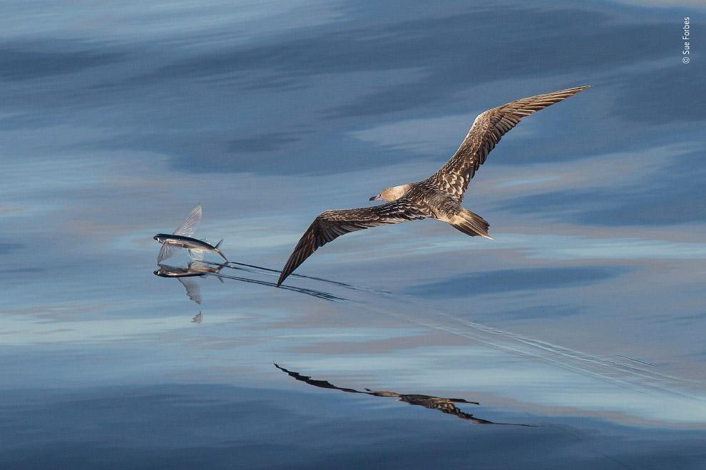 Птица преследует летающую рыбу