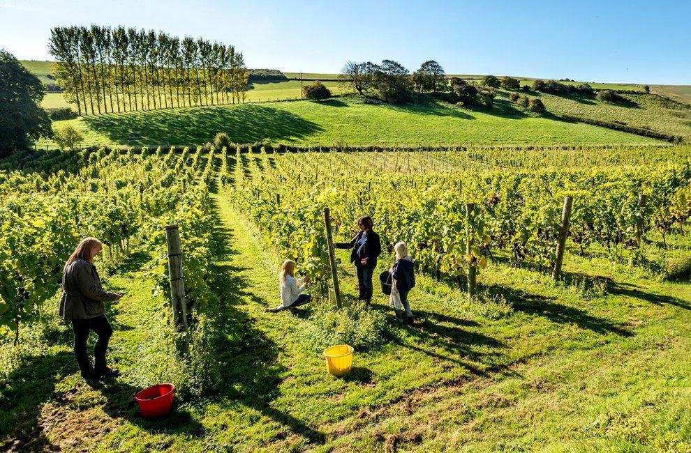 Сбор винограда в Восточном Сассексе