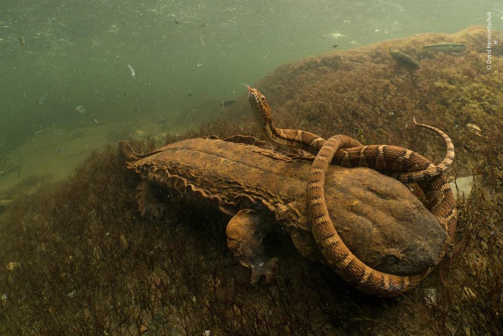 Саламандра со змеей в зубах