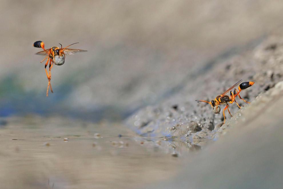 Роющиеся осы