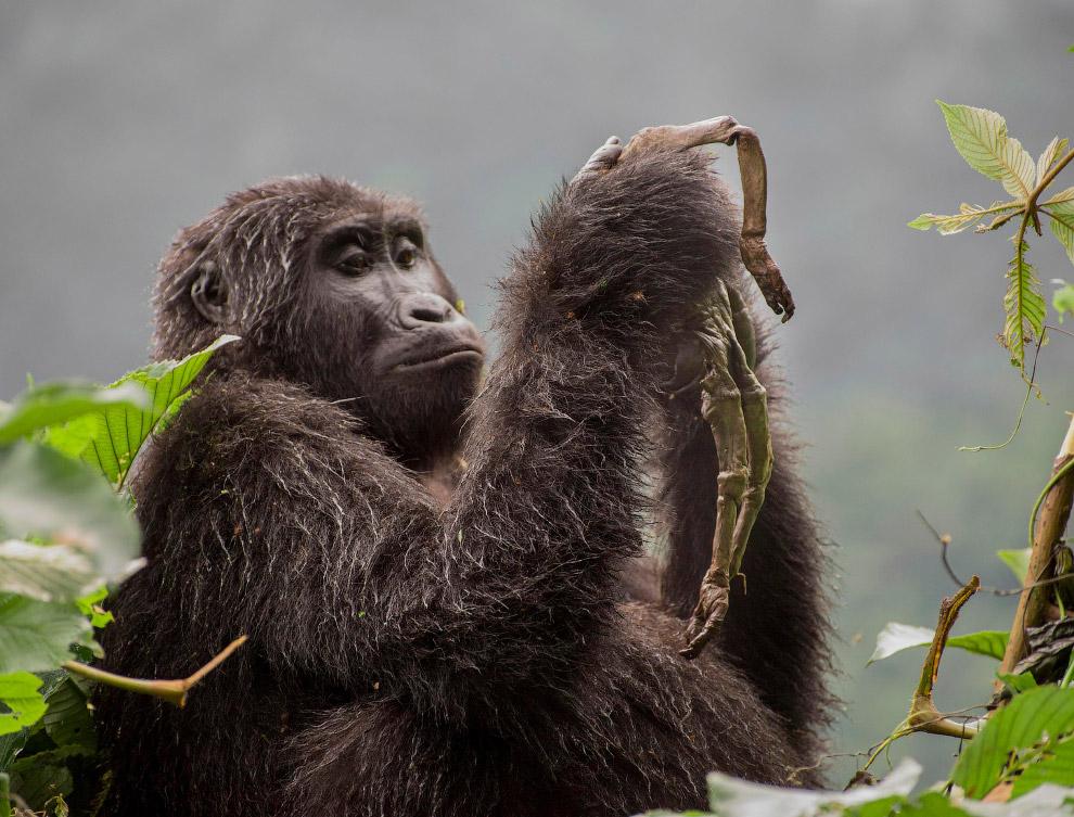 Самка горной гориллы