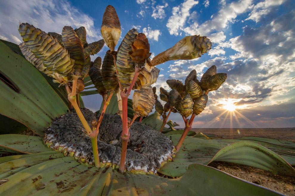 Вельвичия удивительная в Намибии