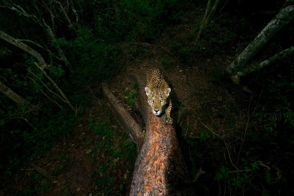 ягуар, живущий в одном из национальных парков Мексики