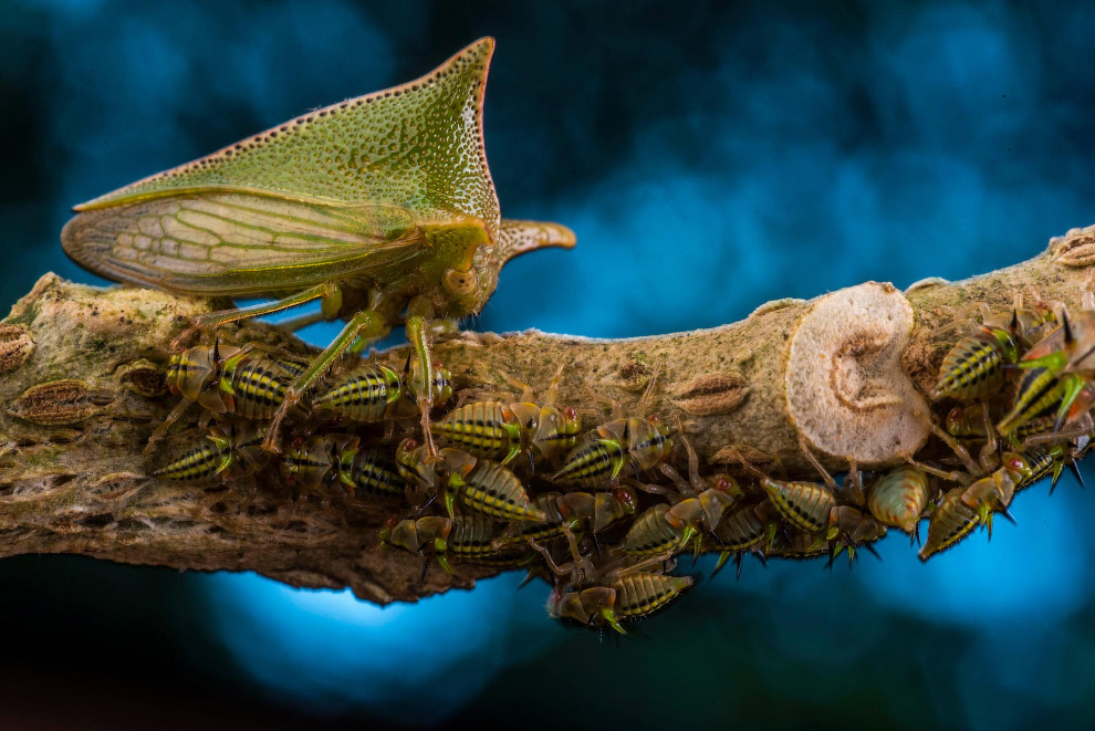 Снимок горбатки, охраняющей своих нимф