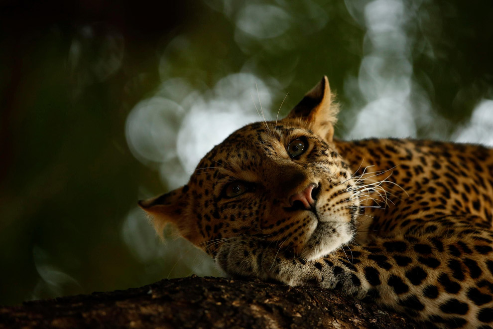 Снимок отдыхающего леопарда в Ботсване