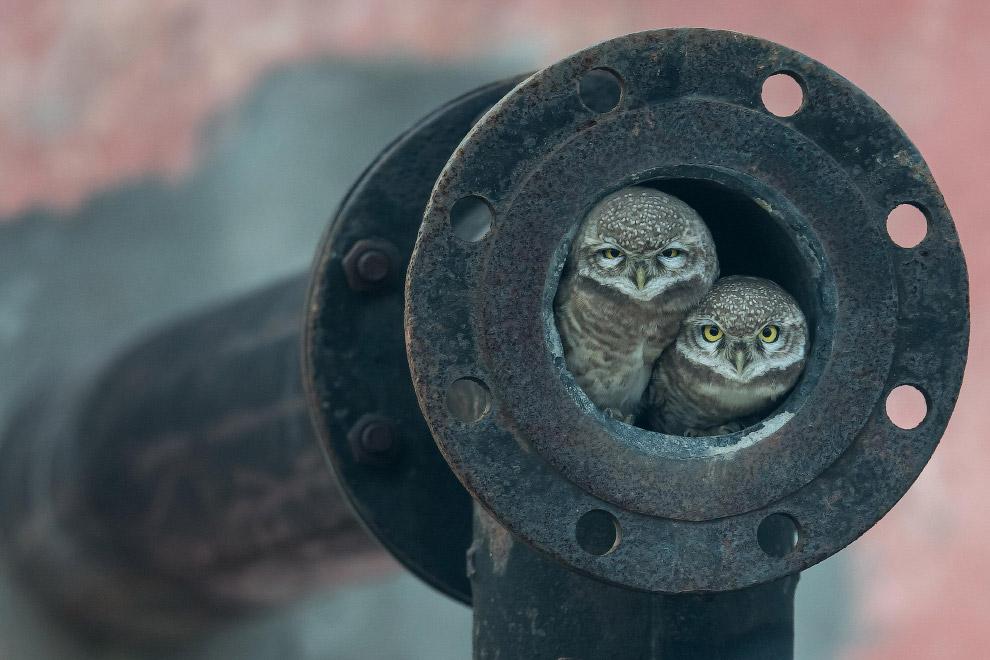 Снимок сидящих в трубе сов
