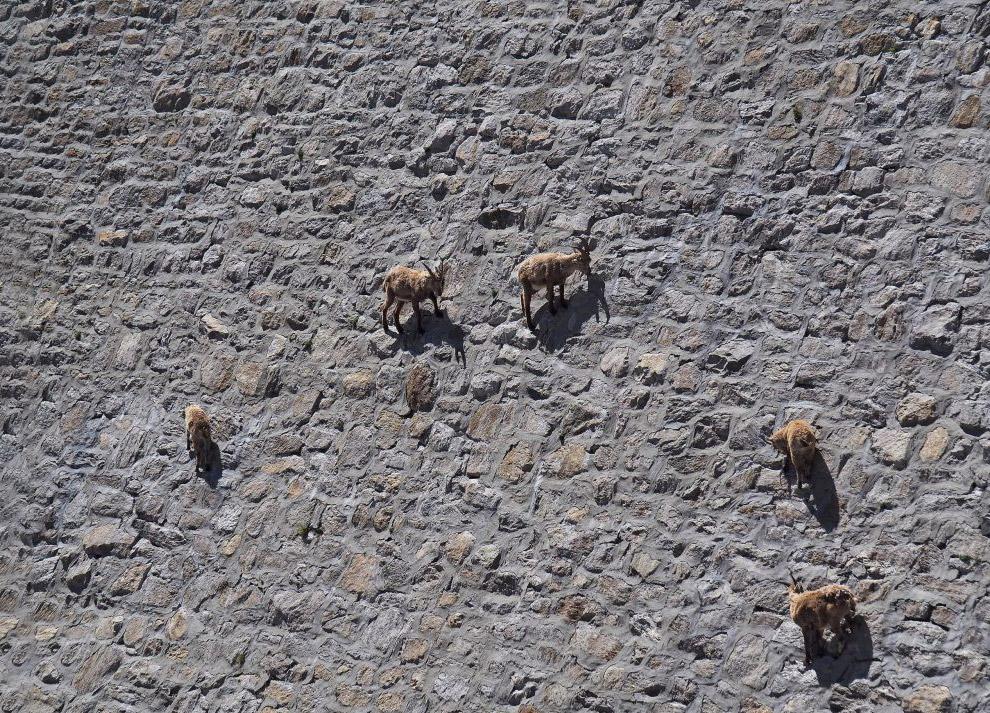 Альпийские козы, которые нарушают гравитацию