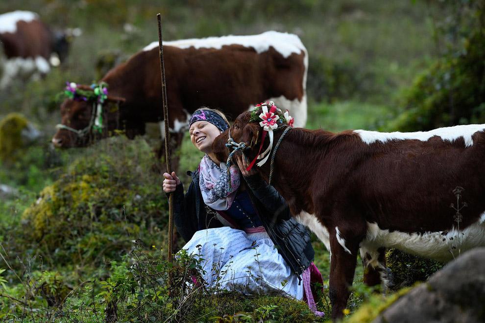 Фермеры ведут своих коров с альпийских летних пастбищ на зимовку
