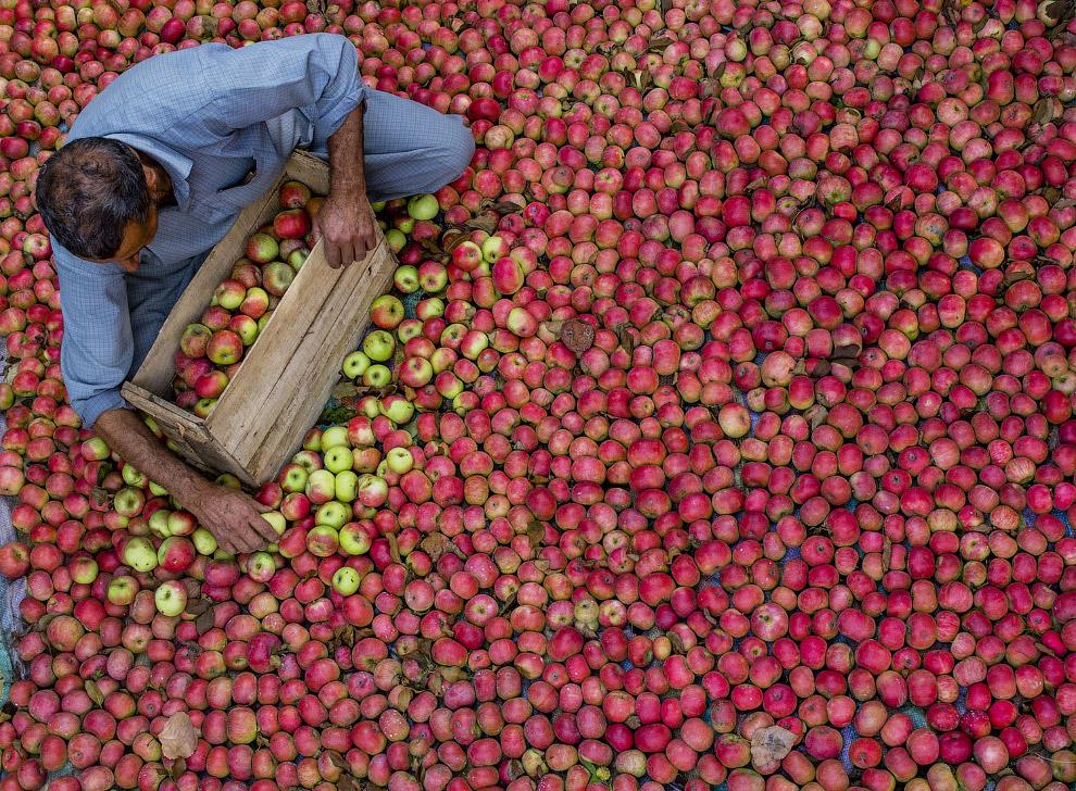 Яблочки поспели