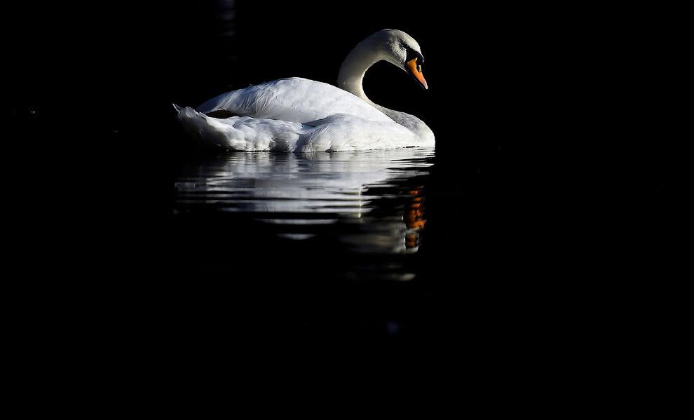 Лебедь на осеннем озере