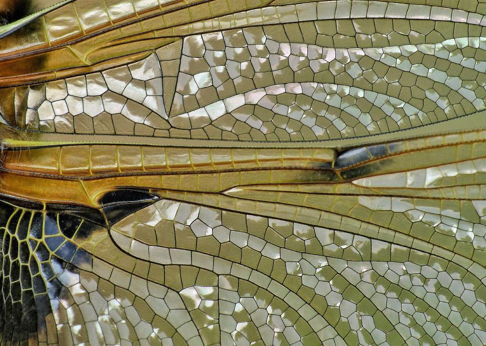 Крылья стрекозы невероятно сложны, когда их рассматривать под увеличением
