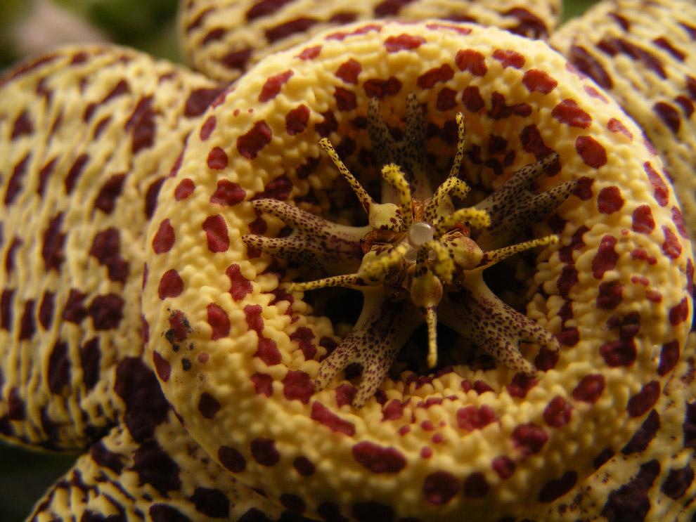 Цветок Orbea variegata