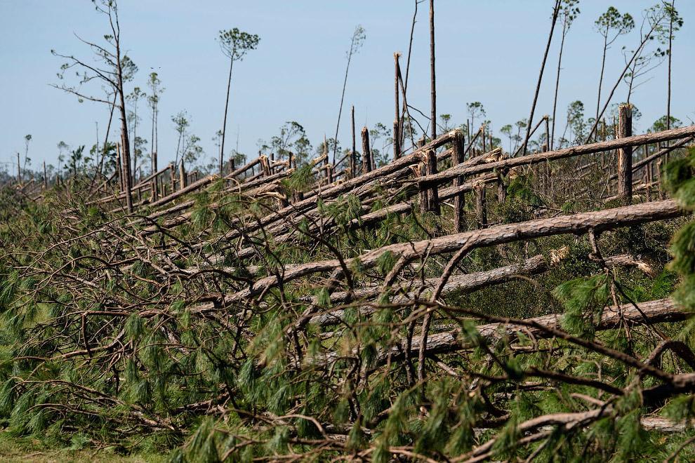 Ураган Майкл против деревьев