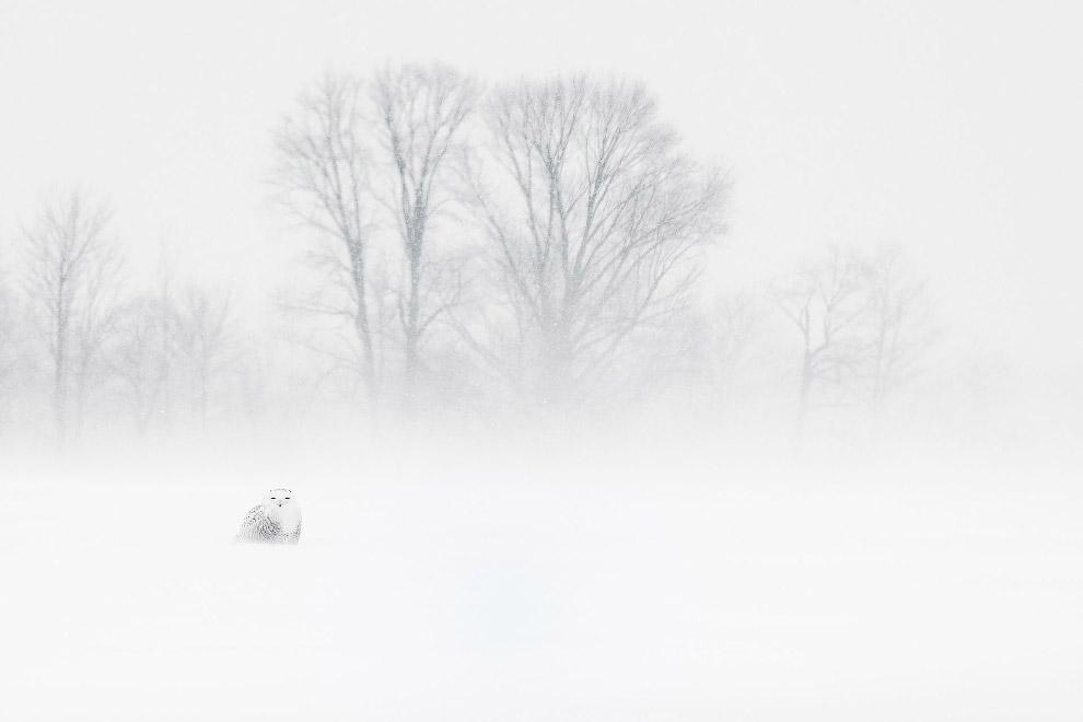 Сова почти сливается со снегом
