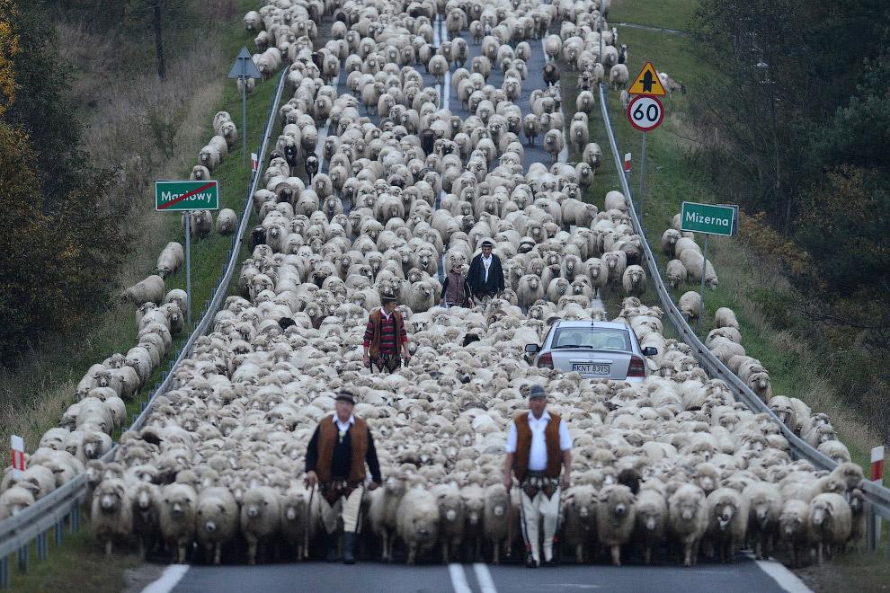 Возвращение бесчисленного стада овец с гор, Польша