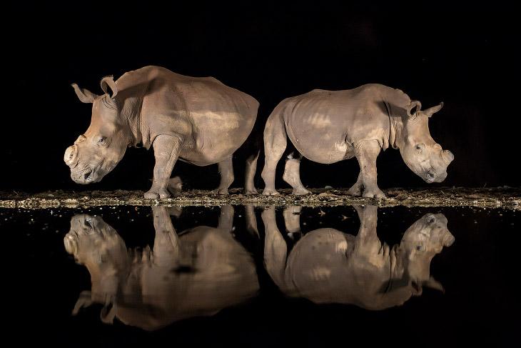 Носороги на водопое в южноафриканском заповеднике Зиманга