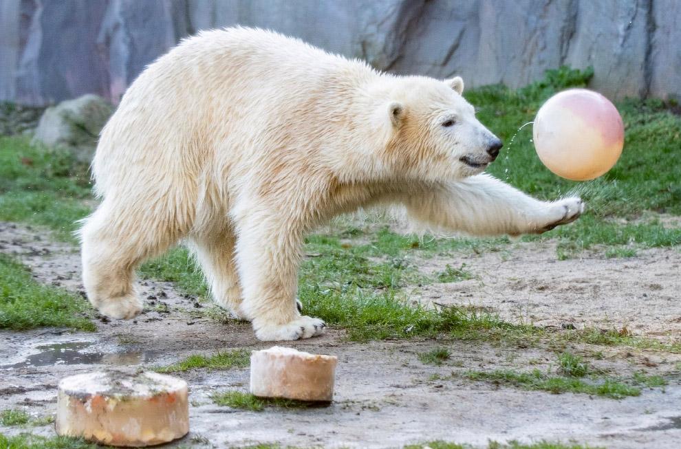 Белый медведь в зоопарке в Гельзенкирхене