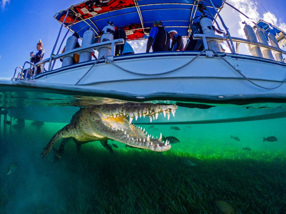 Крокодил под катером в Карибском море, Куба