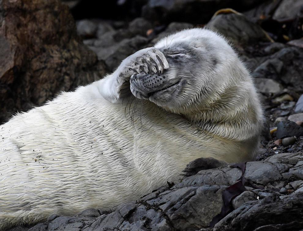 Стеснительный тюлень, Уэльс, Великобритания