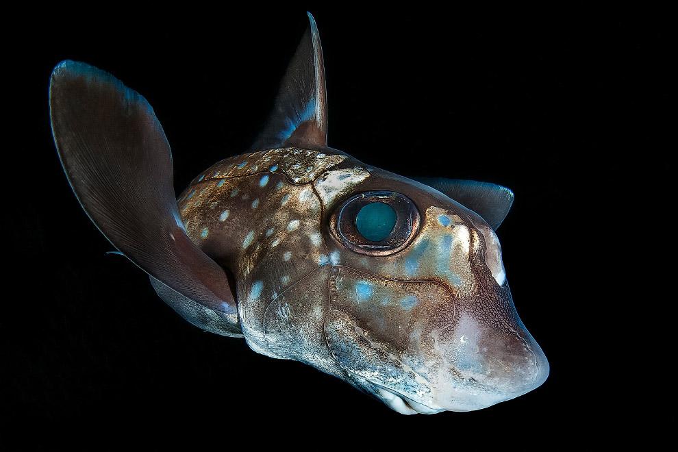 Американский гидролаг — хрящевая рыба